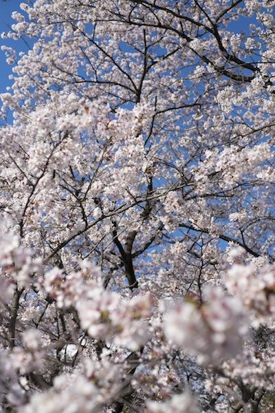 20140405_hanami_0036